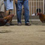 Alasan Bermain Judi Sabung Ayam Online
